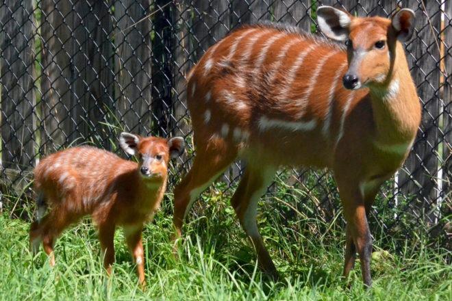 Sitatunga mom and calf