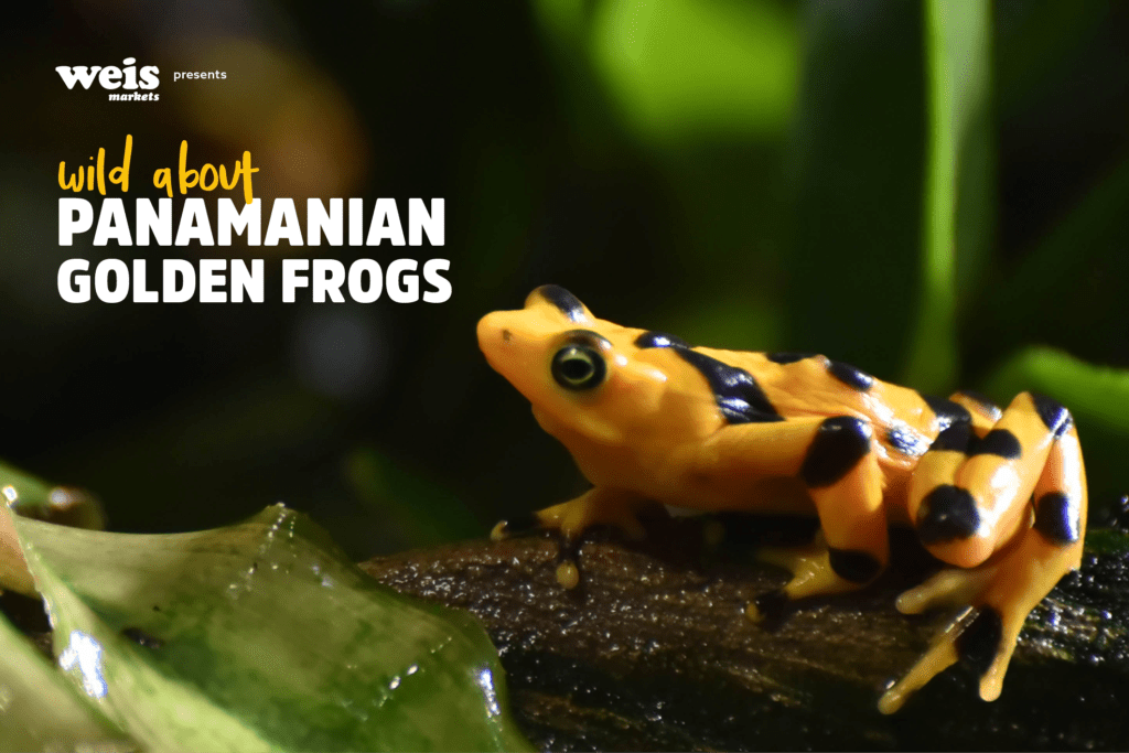 Wild About Panamanian Golden Frogs! | The Maryland Zoo
