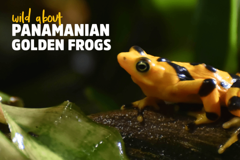 Wild About Panamanian Golden Frogs