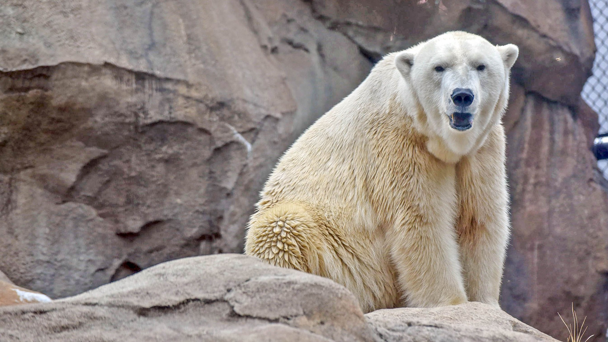 polar bear conservation at the maryland zoo. Black Bedroom Furniture Sets. Home Design Ideas