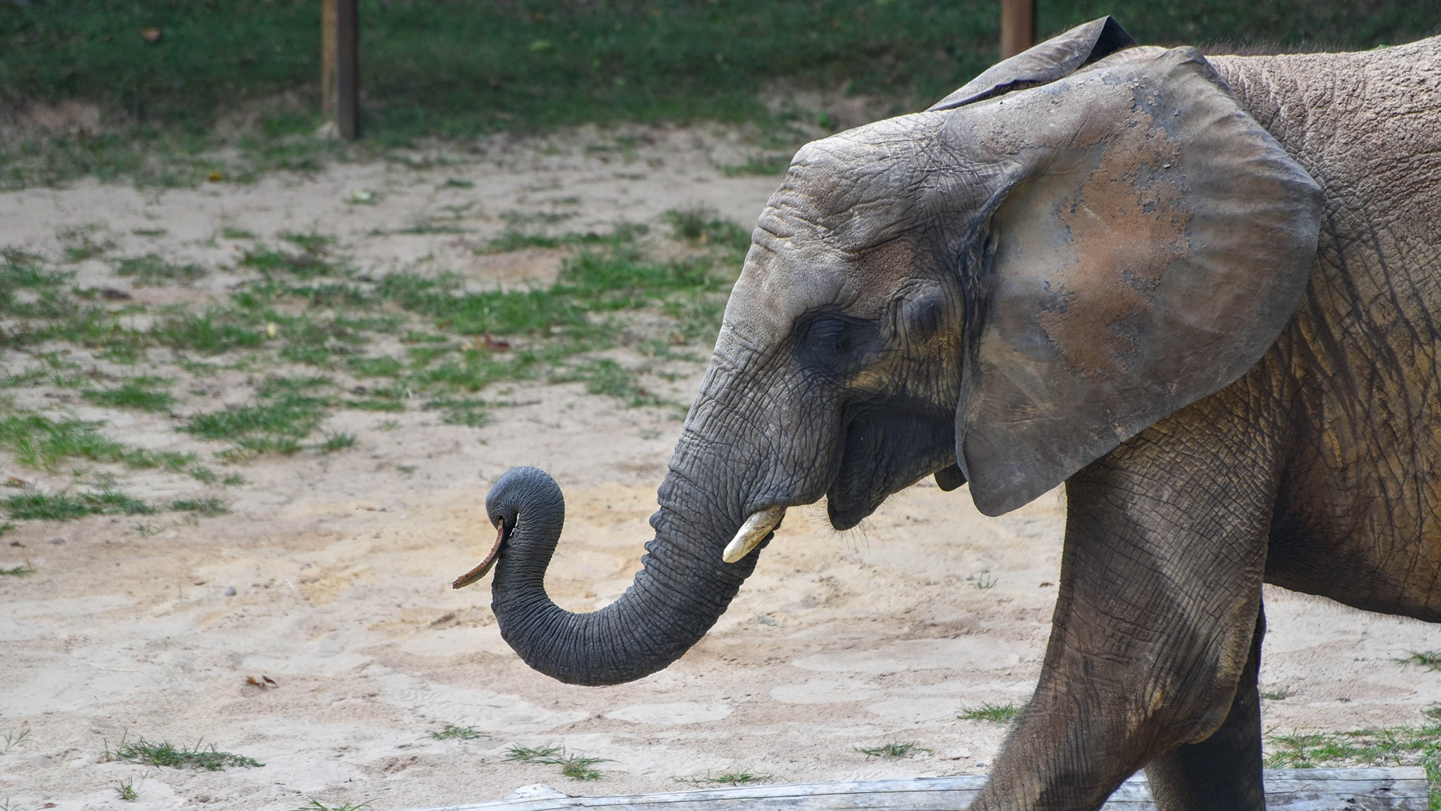 African Elephant Conservation At The Maryland Zoo
