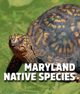 Maryland native species box turtle