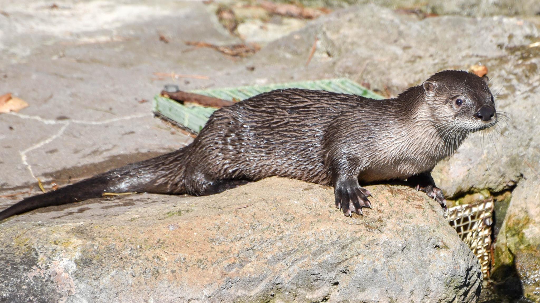 otter sitting on rock