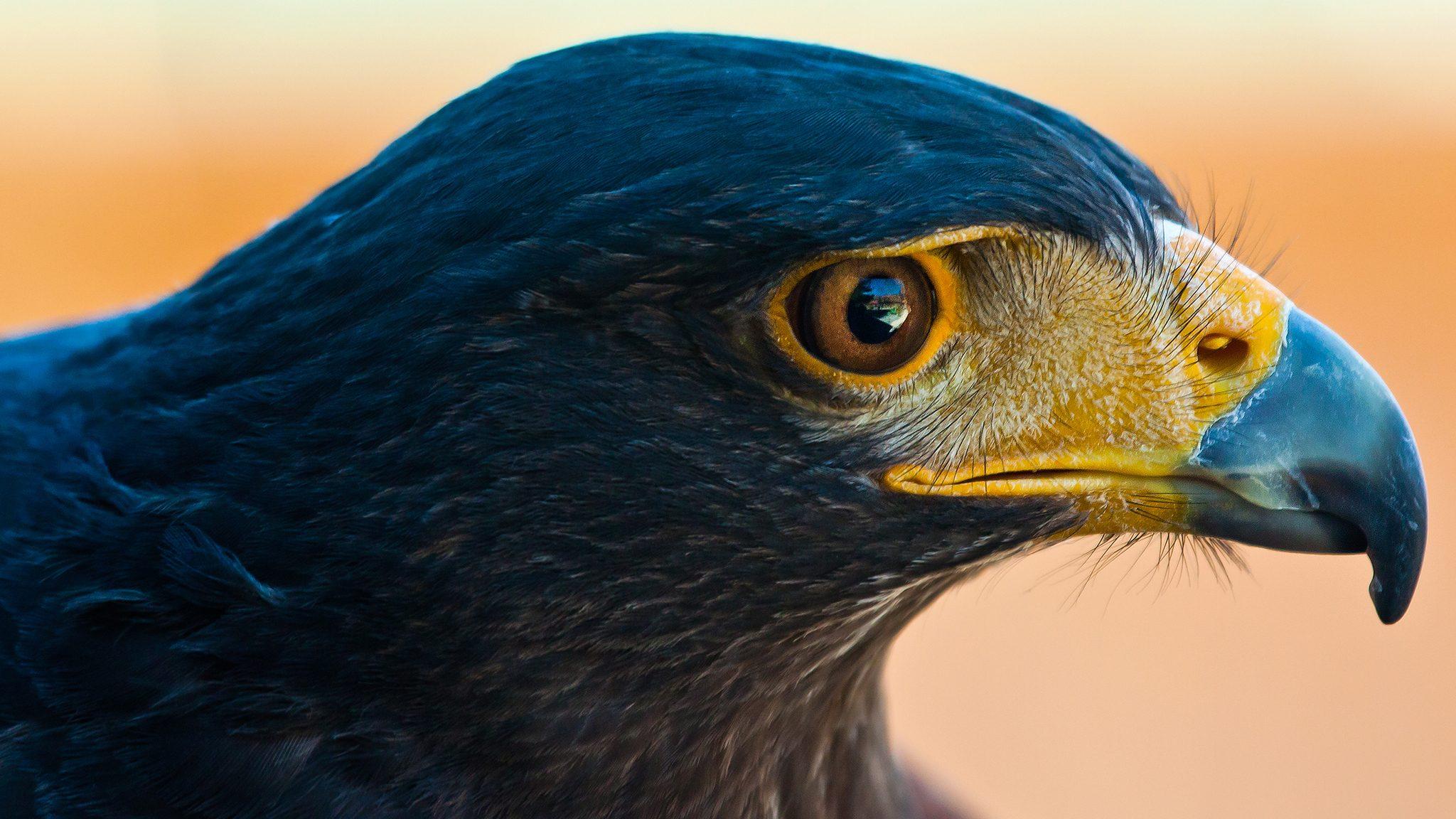 close up of hawk head