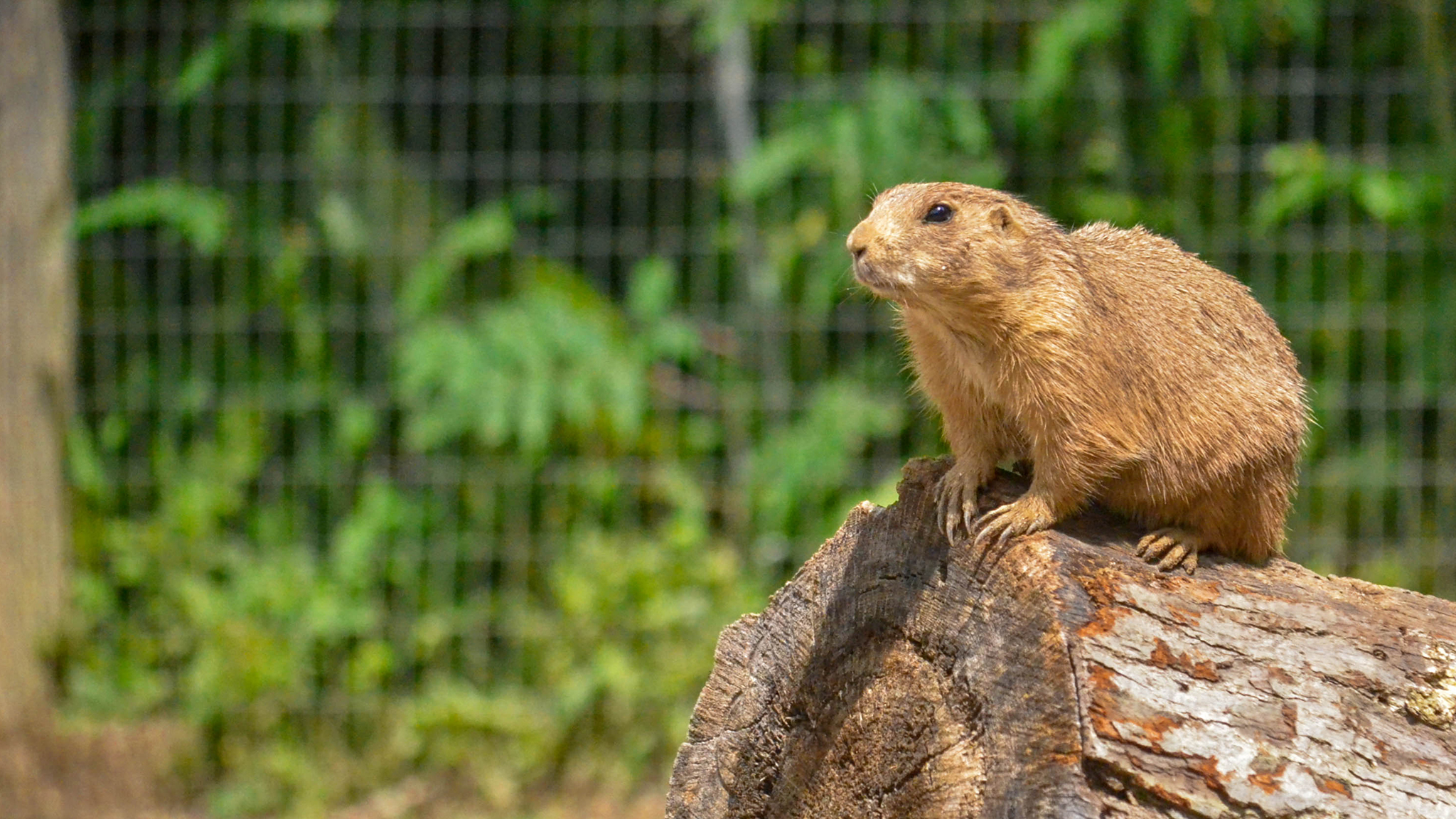 prairie dog on log