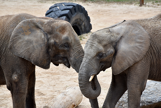 two elephants standing face to face