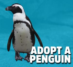 adopt an african penguin