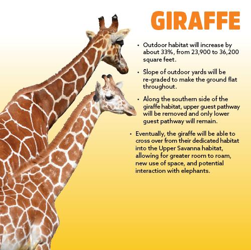 Science Media Guru: Interesting Facts About Giraffes For Kids