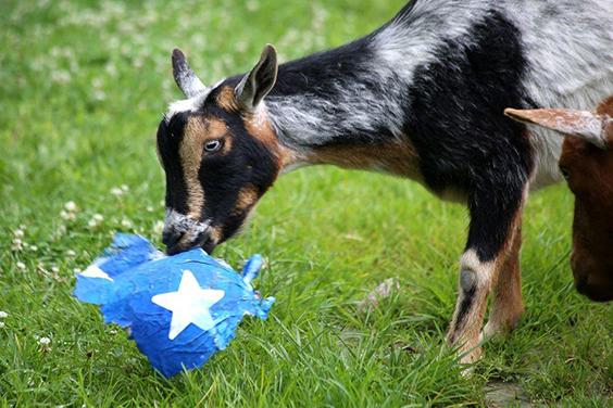 Goat Enrichment