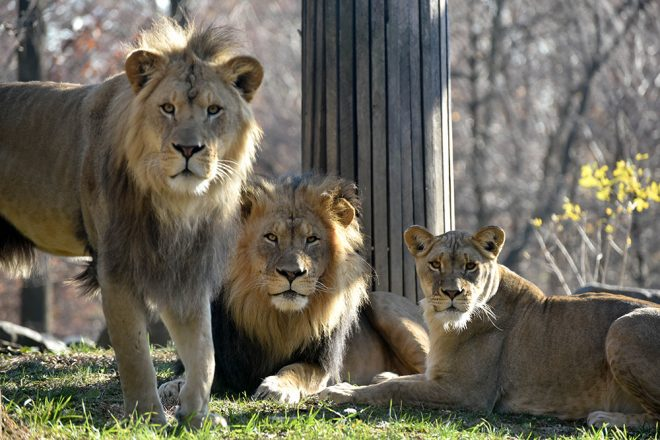 maryland zoo lion pride to temporarily move