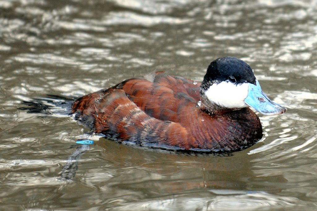 duck with a blue bill