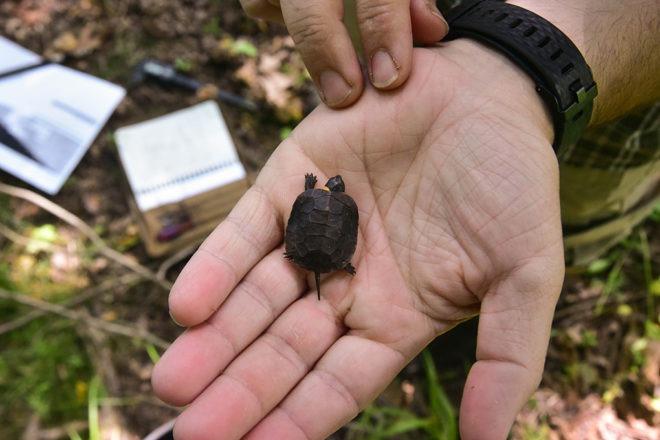 bog turtle in mans palm