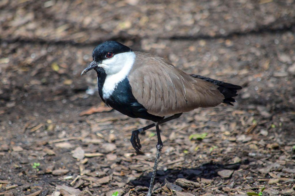 spurwing lapwing bird standing background