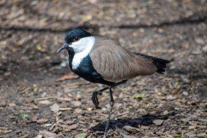 spurwing lapwing bird standing