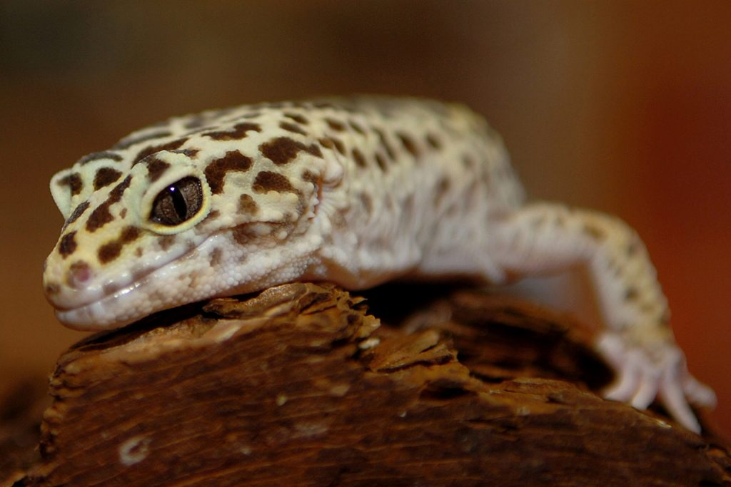eyelid gecko background