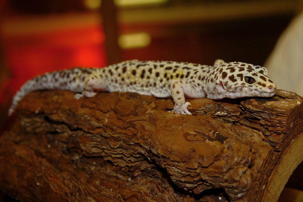 eyelid gecko