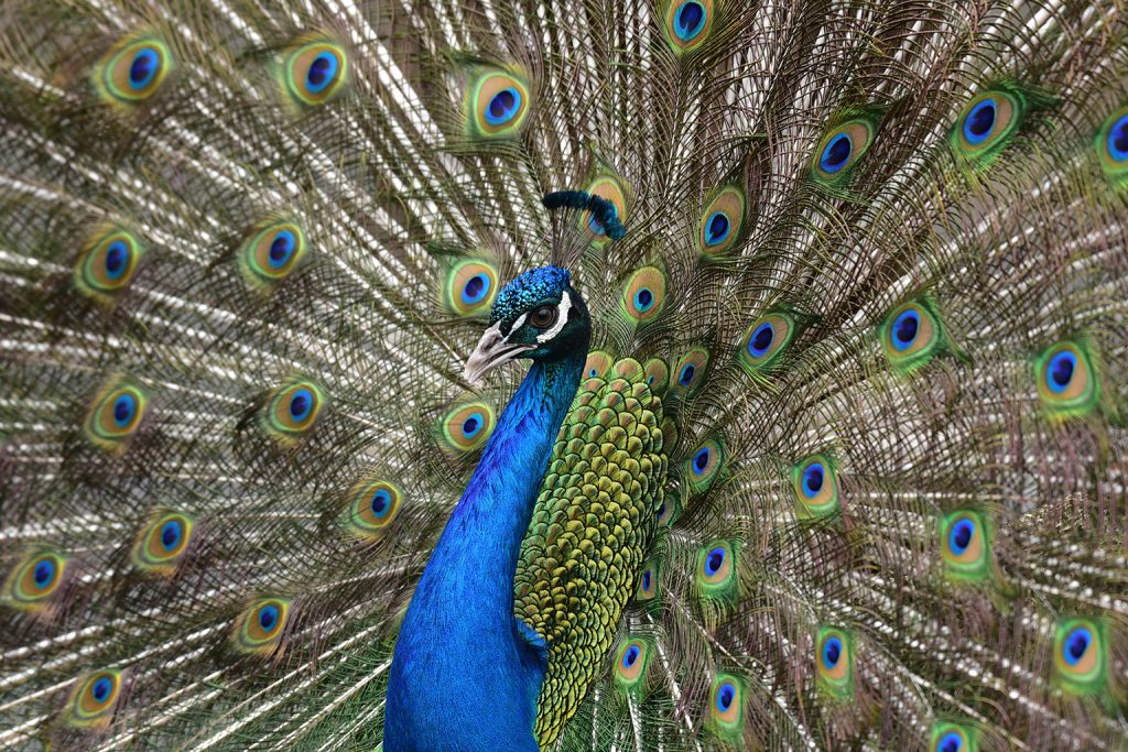 peacock with feathers spread