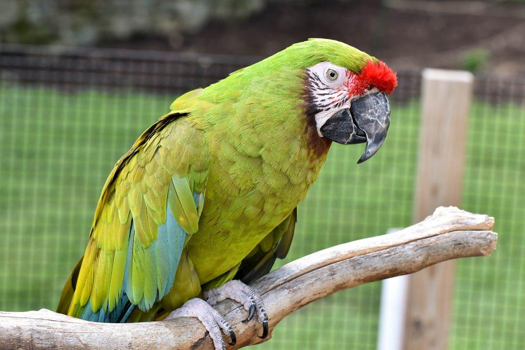 tyson the parrot