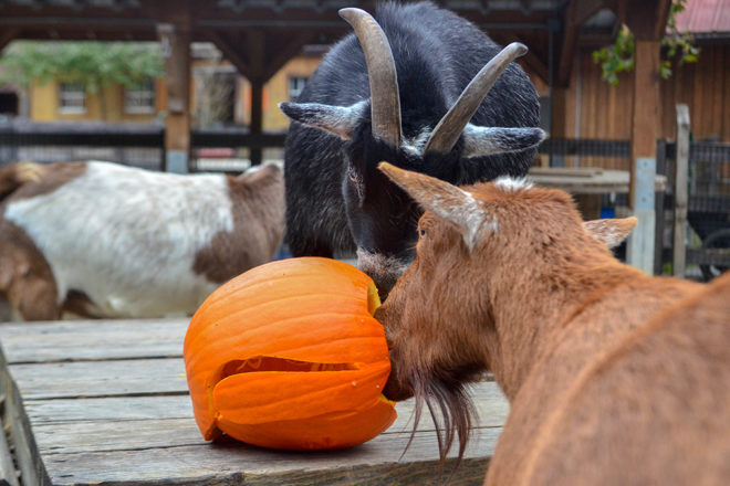 goats eating carved pumpkin