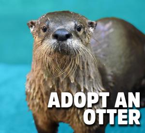Adopt an Otter