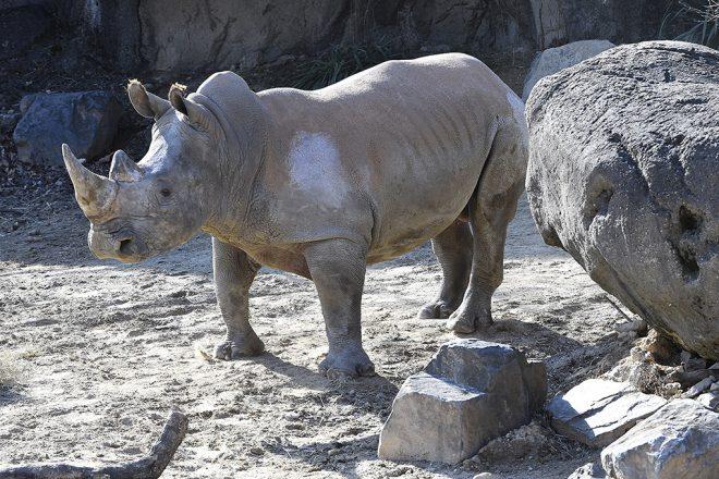 rhino in habitat