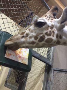 giraffe giving kisses to paper