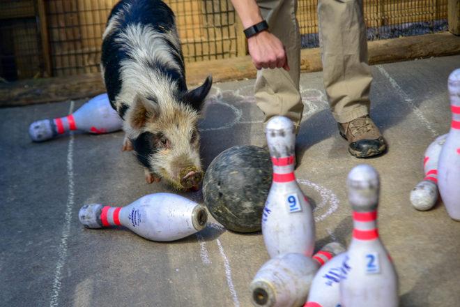 kunekune pig pushing bowling ball into pins.