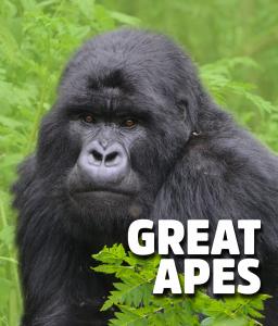 great apes gorilla