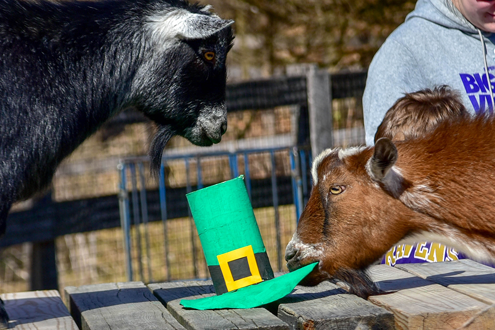 two goats interacting with st. patrick's day green hat enrichment.