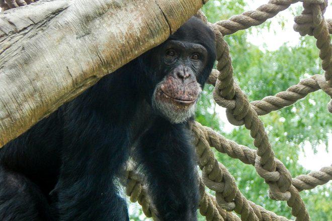 chimp near ropes