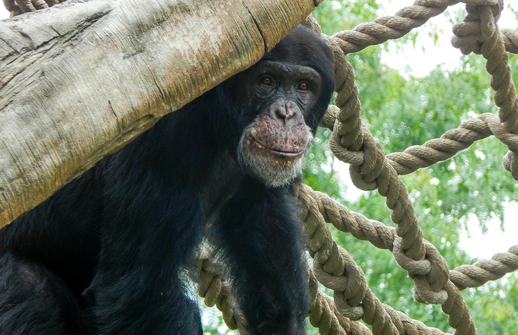 The Maryland Zoo Welcomes New Male Chimpanzee | The Maryland Zoo