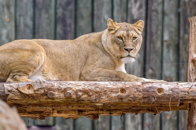 lion laying on wood