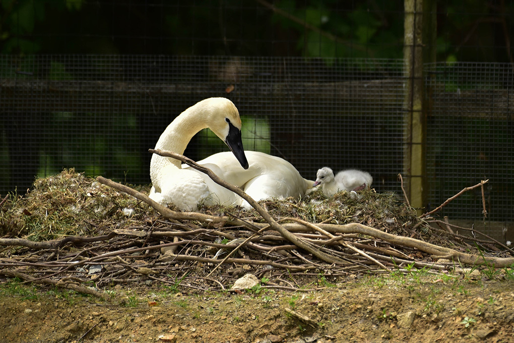 swan with baby in nest