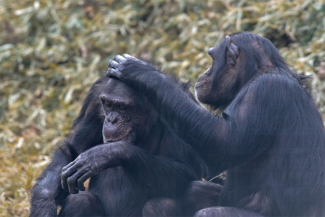 two chimps sitting next to eachother