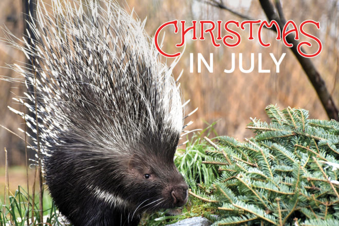 porcupine with evergreen branch