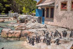 african penguins in penguin coast exhibit