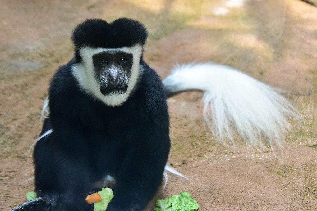 colobus monkey background