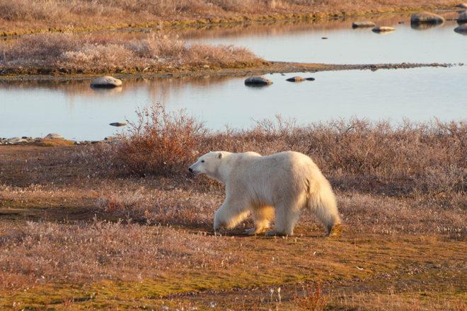 polar bear walking in a field