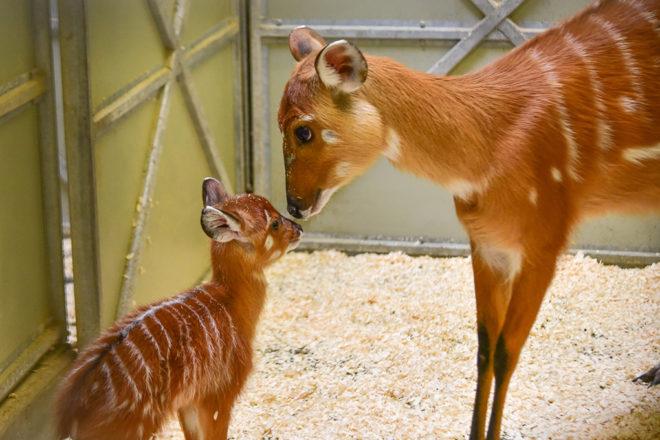 sitatunga mother with calf