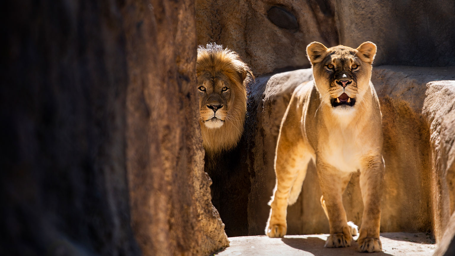 lions walking into habitat