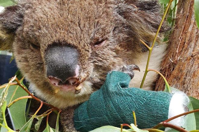 injured koala with bandaged arm.