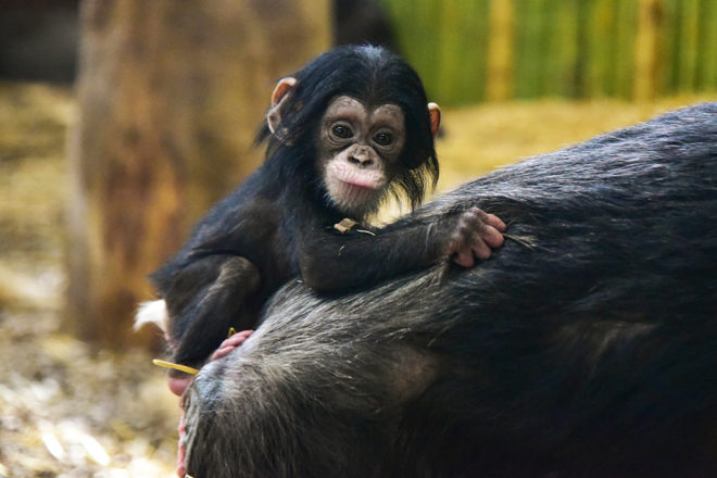 baby chimp clinging to mother's back.