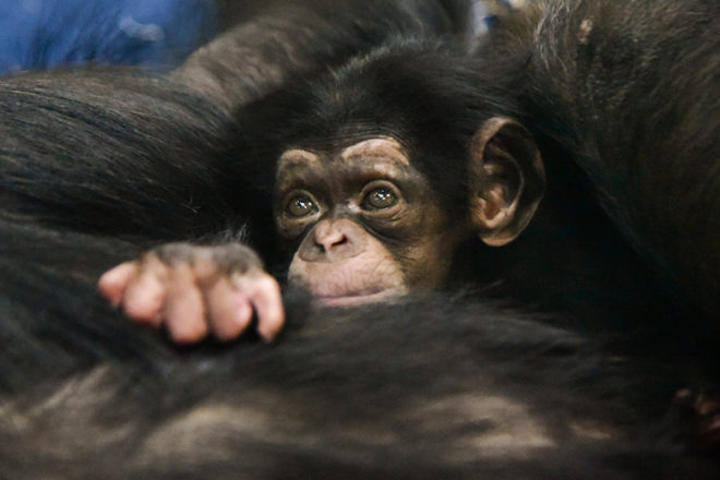 baby chimpanzee peeking out from mother's arm.