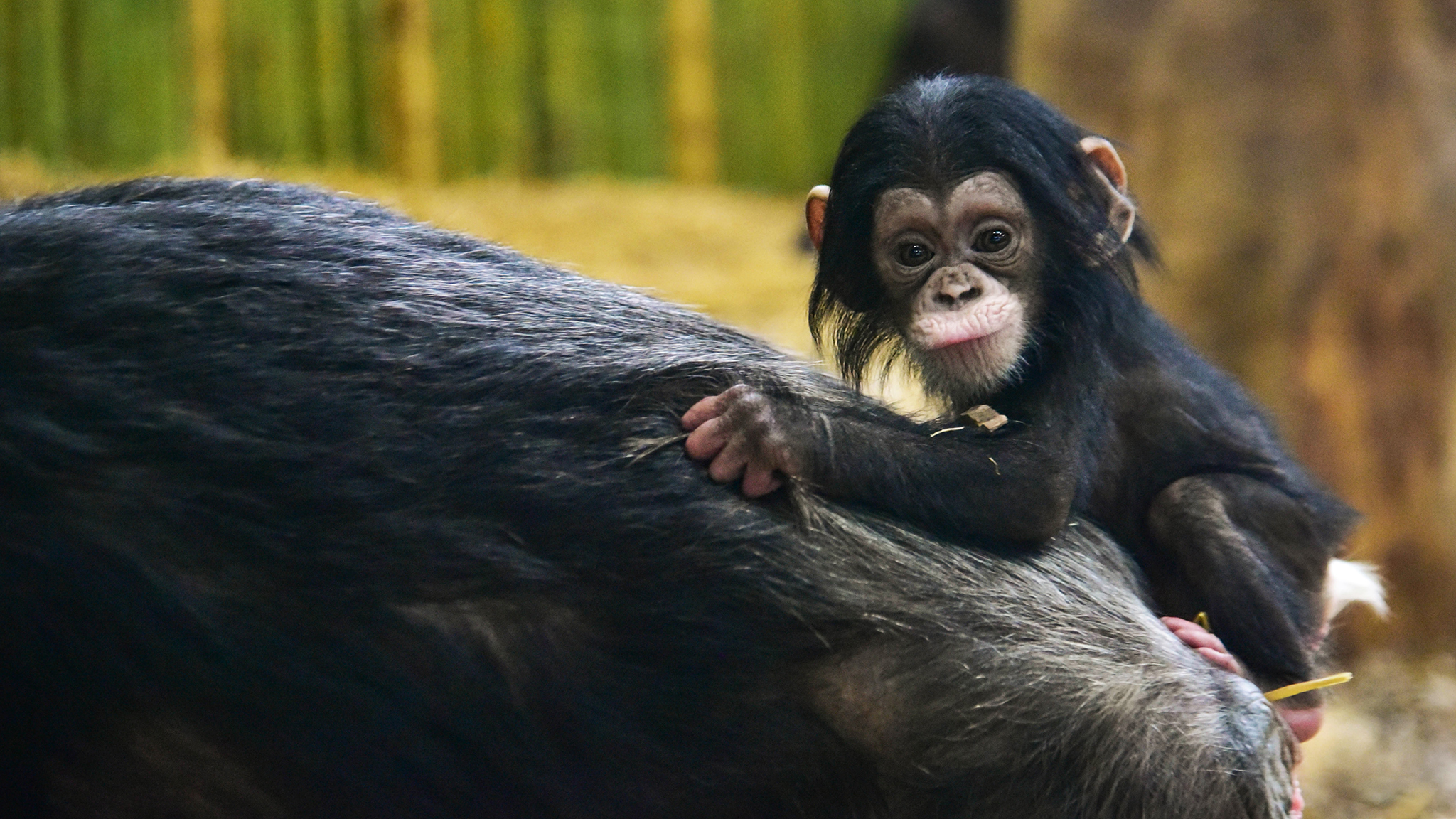 baby chimpanzee clinging to mother's back.