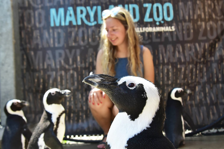 woman sitting with african penguins around her