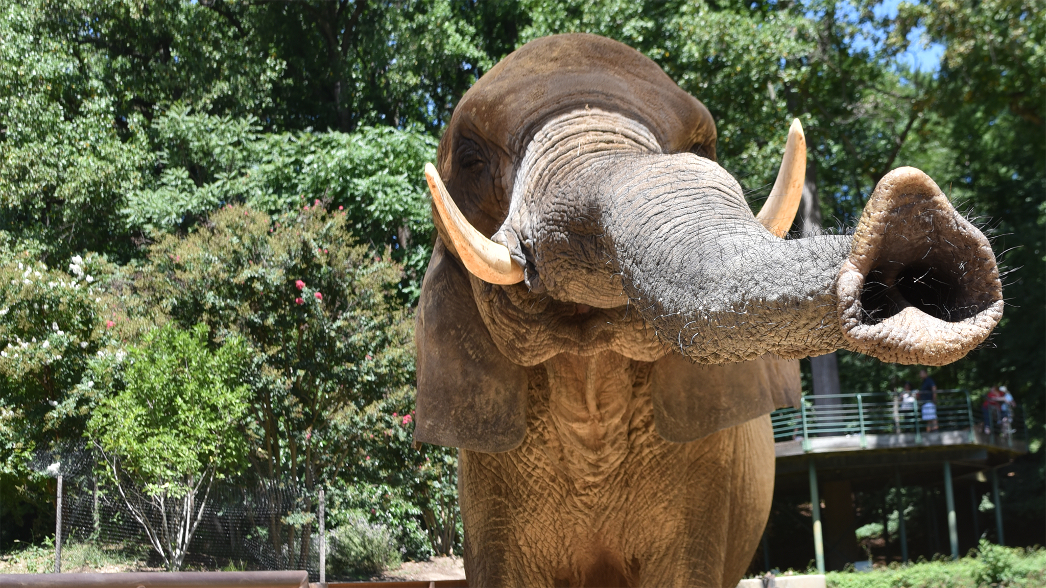 Elephant with trunk extended.