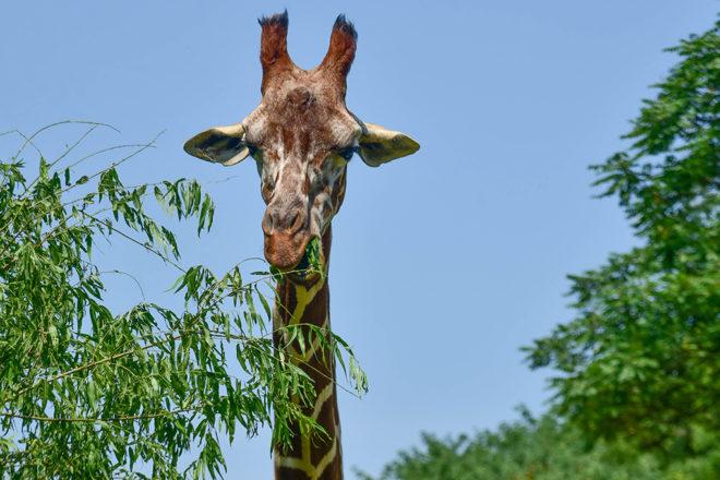 giraffe eating a branch.