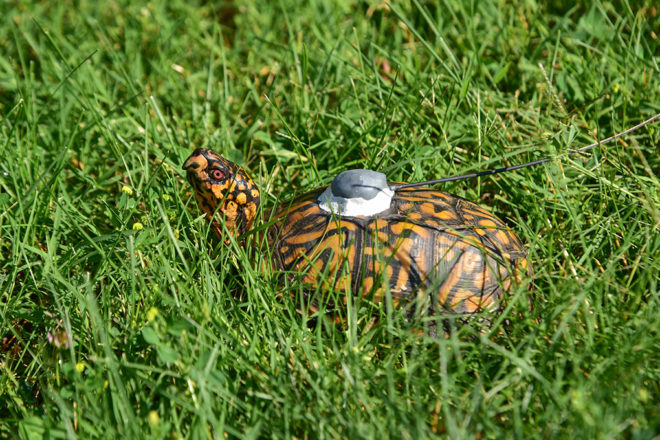 box turtle with tracker on shell