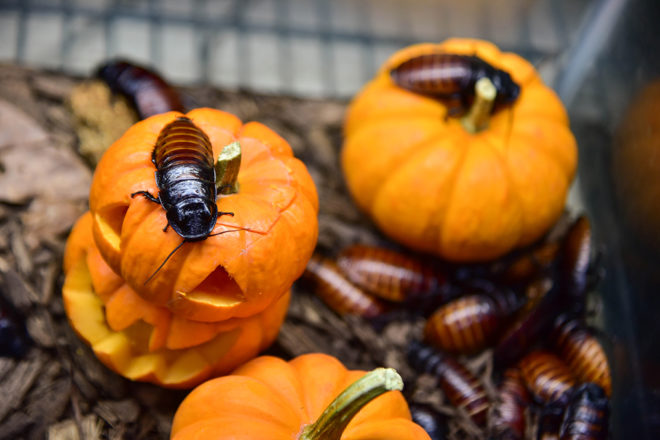 cockroaches crawling over pumpkins