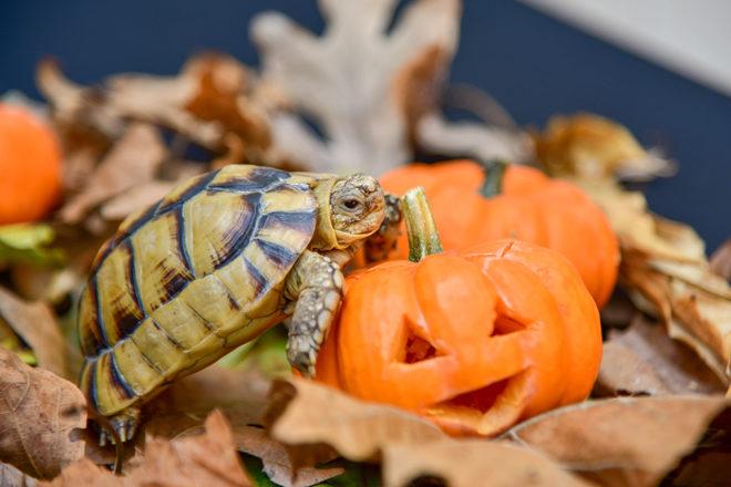 turtle resting on mini pumpkin